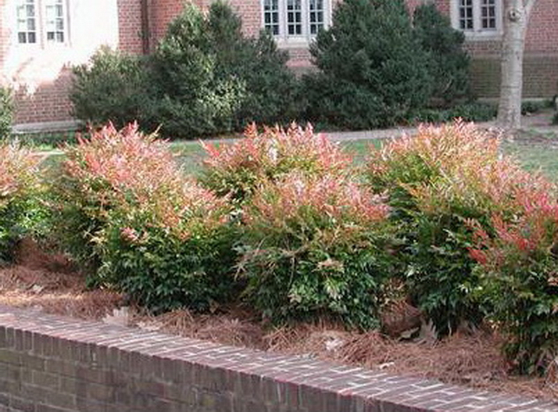 Nandinas used in Unusual garden ideas