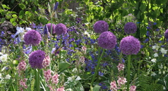 Garden design West London with Alliums