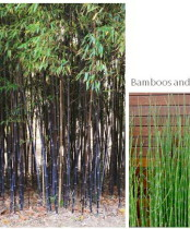 Urban garden uses Bamboos used by Rhoda Maw