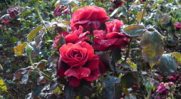Red roses used in Garden design West London