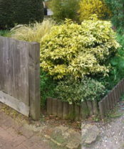 Untidy, broken wall, Choysia, messy plants all need replacing