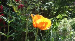 Small back garden in Uxbridge with cottage garden plants such as poppies and roses