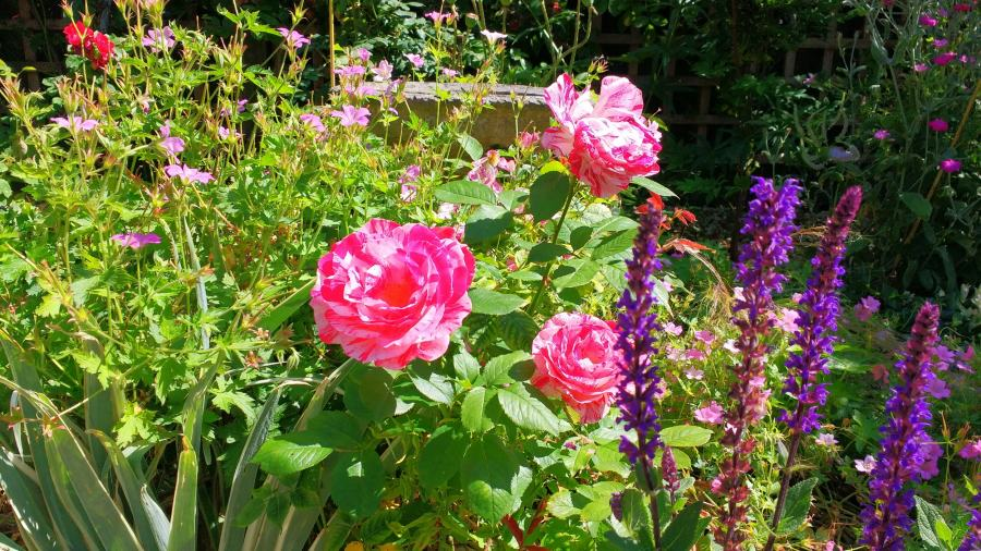 Roses and salvias in a cottage garden