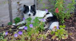 cottage garden planting surrounding a dog