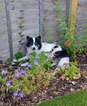 Dog amongst cottage garden planting