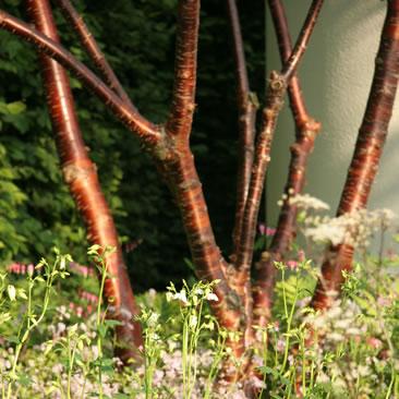 Prunus Serrula to Redesign of your garden